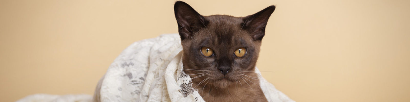 Cairistona Burmese & My Le Mandalay – NZCF Inc Registered Breeders